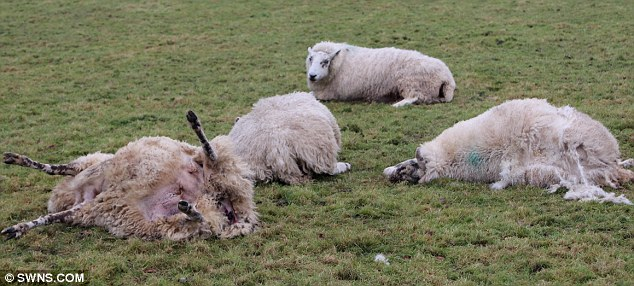 Disgusting: A sick joyrider deliberately ploughed his 4x4 into a flock of heavily-pregnant sheep, leaving 15 ewes dead