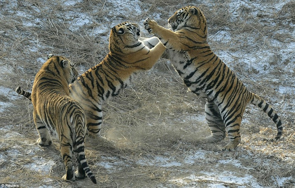 Cat fight: Two of the majestic animals square up. The park is home to more than 800 Siberian tigers and is also a breeding centre for this endangered species
