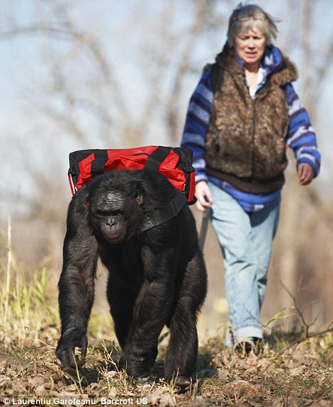 Kanzi carries his barbie in a backpack (left) before finding some dry wood and breaking it down to size