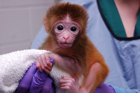 Los científicos en el Centro de Primates de Oregon han creado monos que contienen cada una un cóctel de células de embriones de otros. Los científicos dicen que podrían ayudar a la investigación con células madre - pero los activistas de animales están horrorizados.