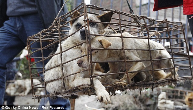 A dog is for life, not just for lunch: The truck full of caged dogs was heading for dog meat restaurants