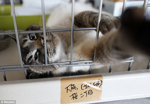 A cat relaxes in his cage in after being rescued from the town of Okuma within the 20 km exclusion zone around the crippled Fukushima Daiichi nuclear power plant