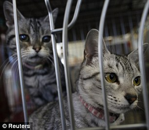 Cats which were rescued by United Kennel Club Japan from inside the 20 km exclusion zone around the crippled Fukushima Daiichi nuclear power plant