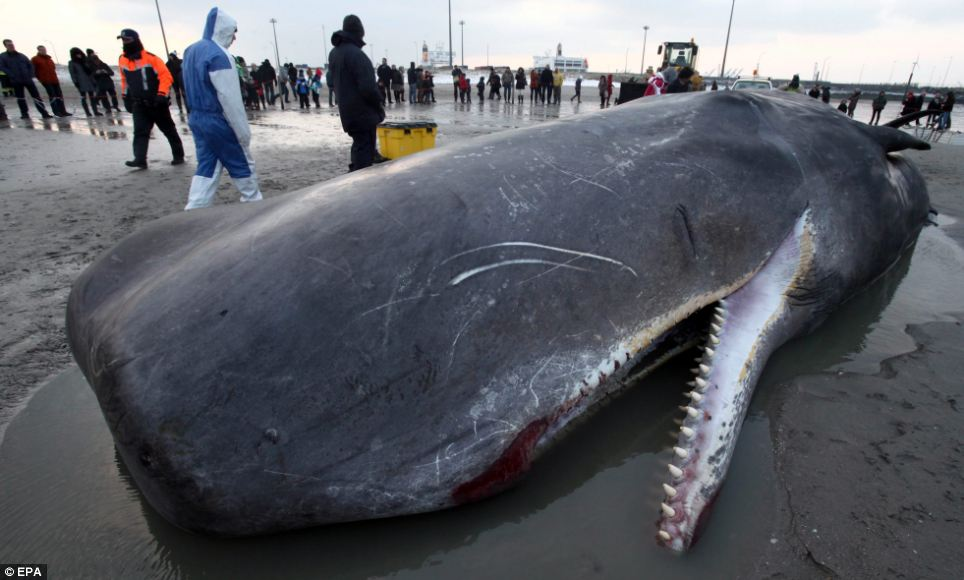 Scientists inspect the sperm whale stranded on a Belgium beach after it accidentally ended up in the North Sea