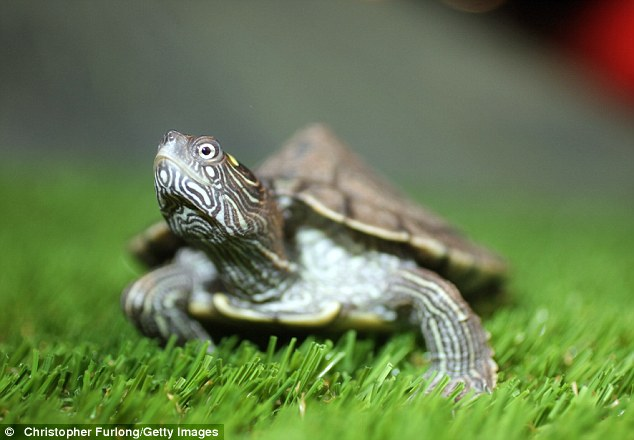 Jensen a two-year-old False Map turtle, from the Mississippi River, gets used to his new home at Blackpool Sea Life Centre