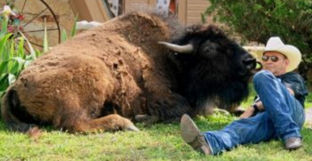 big round comfy chair theater wildthing, i think love you: rancher chooses pet buffalo to be best man at renewal of his ...