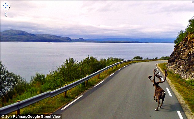On the loose: A wild reindeer runs down the road ahead of the car in a remote area of northern Norway
