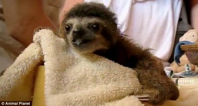 As the sloths have been orphaned they are more likely to pick up infection