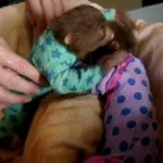 Baby sloths saved from infection by with 'onesie' bandage treatment YouTube video