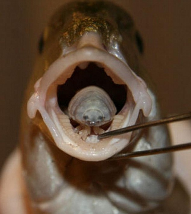 A fully-grown 'Betty' parasite in the mouth of a striped bream. In heavily fished areas, nearly half of fish are affected by the parasite