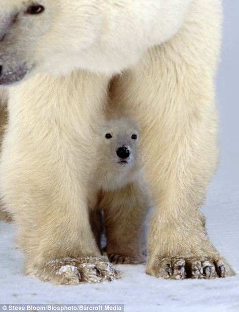 Peekaboo: A cub takes shelter under an adult polar bear as it ventures out in Churchill, Canada