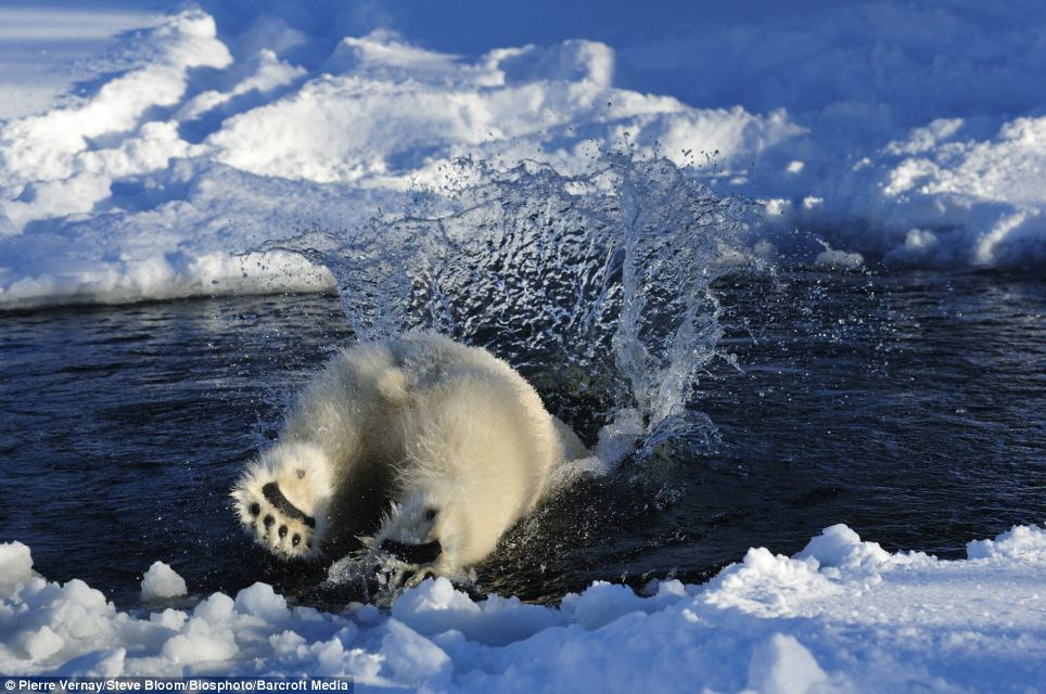 Gone fishing: Meanwhile in Norway a polar bear takes the plunge into icy waters in the hope of finding a bite to eat