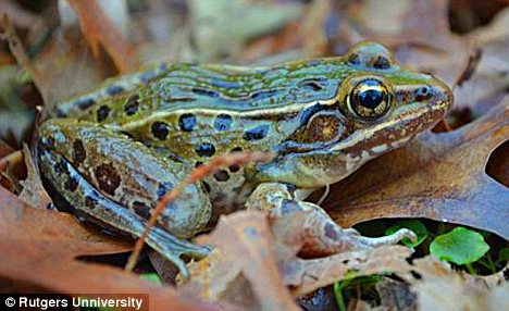 Meet the new frog: The new species of frog, which is unnamed, was found hiding in plain sight on Staten Island