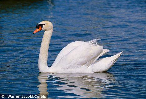Concern: This was the third such attack on swans in the area in six months, sparking fears of a swan-poaching crimewave