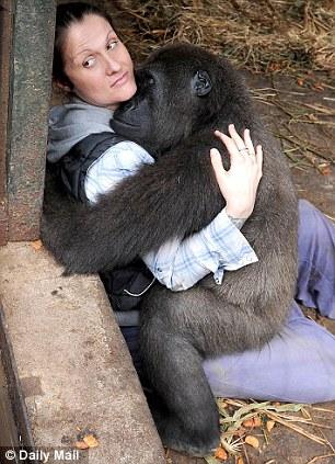 How do you treat a gorilla with a gunshot wound Answer