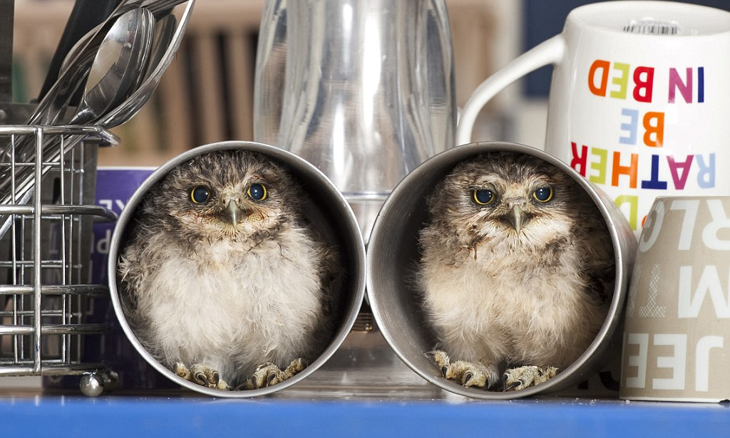 Orphaned Baby Owls Linford And Christie Have A Hoot In