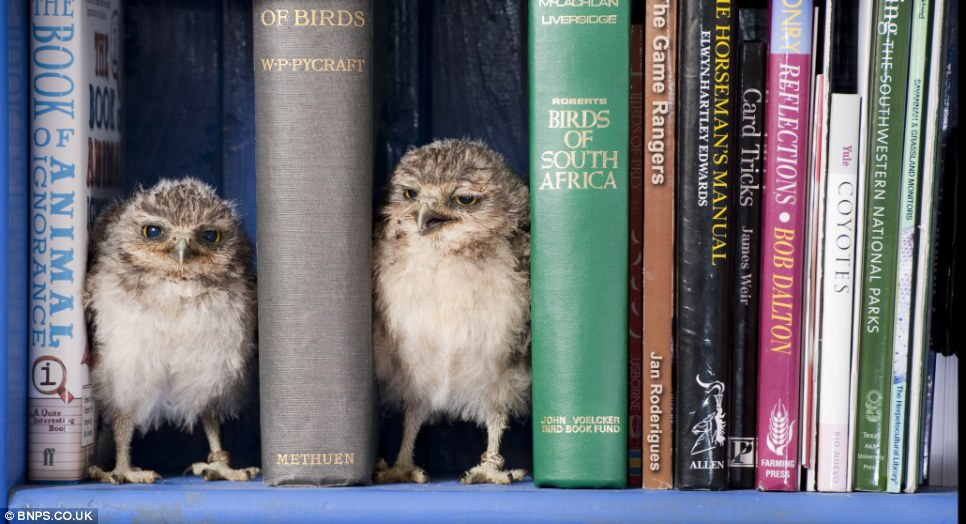 Let's play hide and beak: The owls were hatched at the Hawk Conservancy Trust in Andover, Hampshire, in February