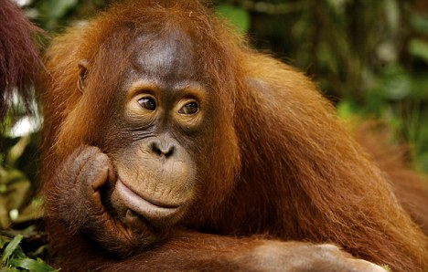 Sad: The apes have had to flee the flames as fires wipe out their habitat ¿ and palm oil companies have been blamed for starting the blazes