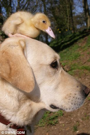 Image result for dog and duckling