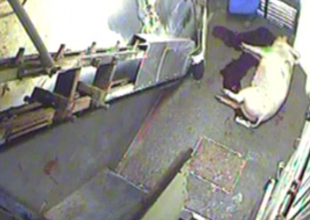 Shocking: In one excert from the video, a pig is seen bleeding to death on the abattoir floor