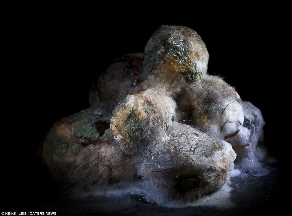 El círculo de la vida: Una pila de patatas poco a poco se desintegra en una masa de lodo y el moho