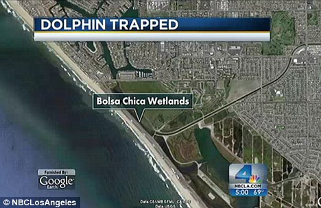 Trapped: The dolphin is currently caught in Orange County's Bolsa Chica wetlands on the California coast.