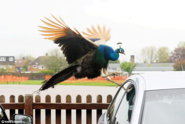 Image result for image of a peacock attacking a car