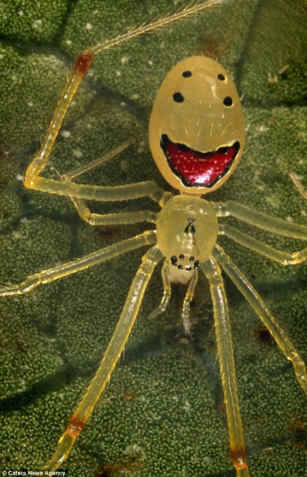happy face spider  # 7