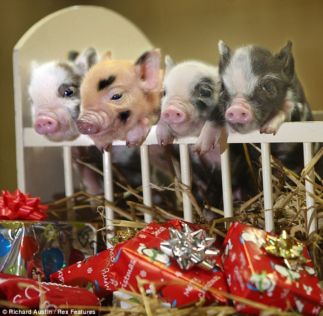 Teacup Christmas Pigs