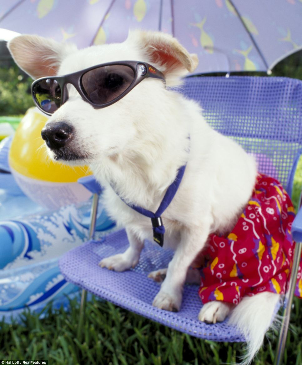 Trunks, glasses and parasol...this pooch looks good - and he knows it