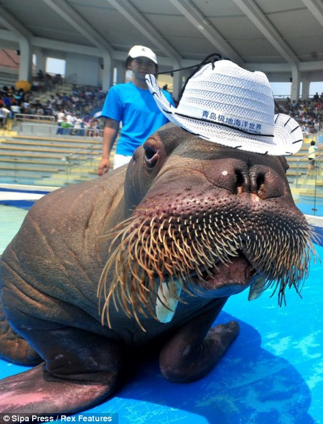 One cool dude: Dudu the walrus beats the summer heat in China, at Qingdao Polar Ocean World