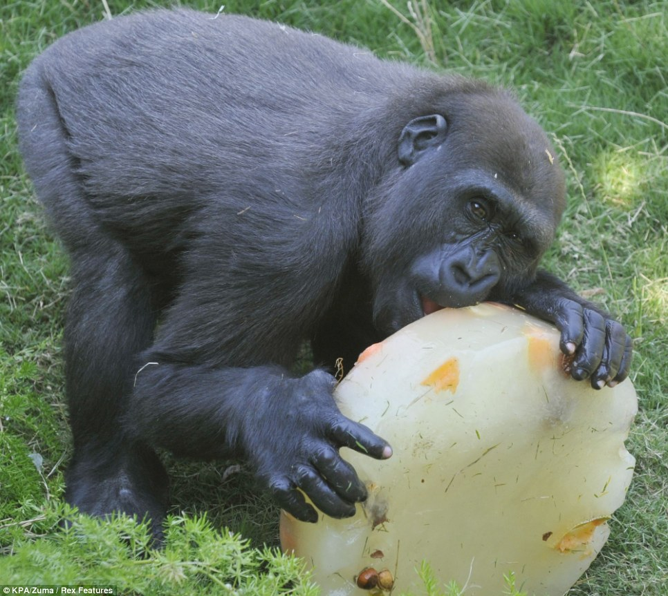 I'll be finished in about nine hours... A young gorilla chews on a block of ice containing fruit at Los Angeles Zoo