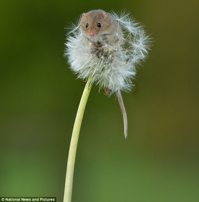 Pretty Things - Harvest Mouse