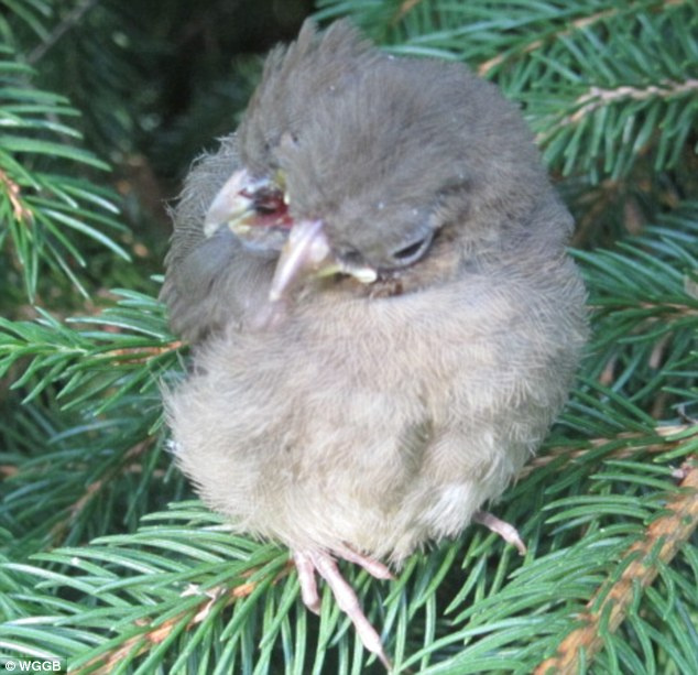 Sonné: Le veilleur avide d'oiseau amant et animale a dit qu'elle a vécu dans sa maison pendant 26 ans et n'a jamais vu venir à travers un oiseau comme ça avant