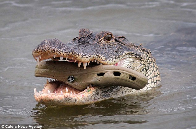 The hungry alligator spent about 30 minutes trying to grind the rubbery footwear with its teeth