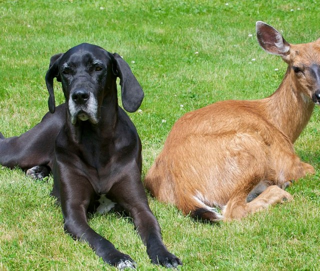 Deer Friends Dog Adopts Orphaned Fawn And Their Unlikely Relationship Is Blossoming Daily Mail Online
