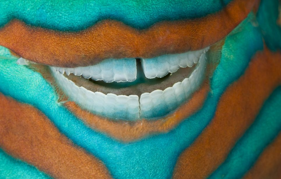 All smiles: A parrotfish seems to grin in its sleep near Heron Island, Great barrier Reef