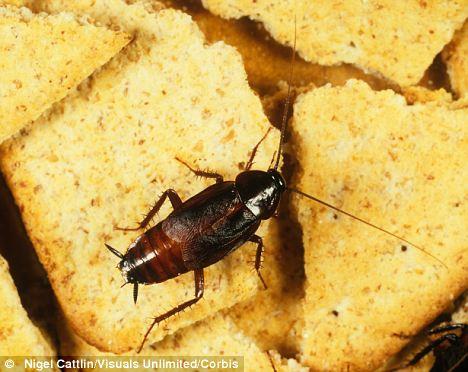 Nasty: Pero las cucarachas son esenciales para el ciclo del nitrógeno del planeta, dicen los biólogos, y son un alimento importante para muchas otras criaturas
