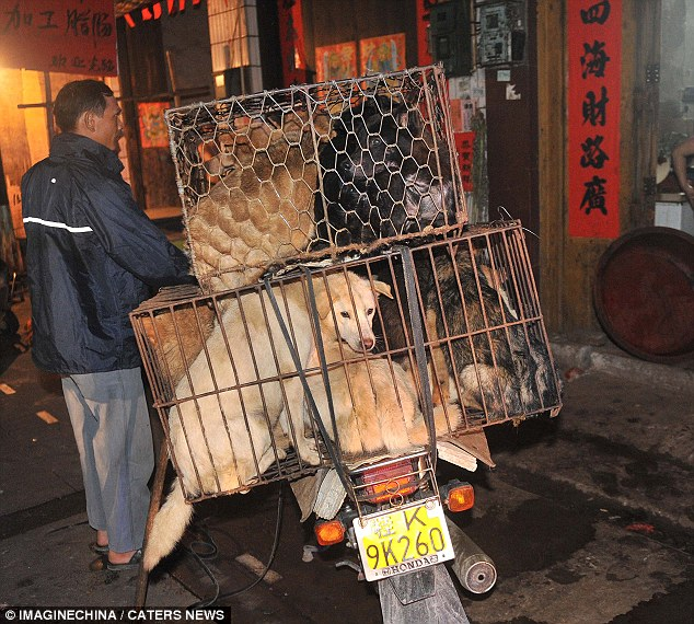 Grim: The dogs arrive alive in cages ready to be killed, cut up and cooked at the meat market in Yulin City, Guangxi province, China