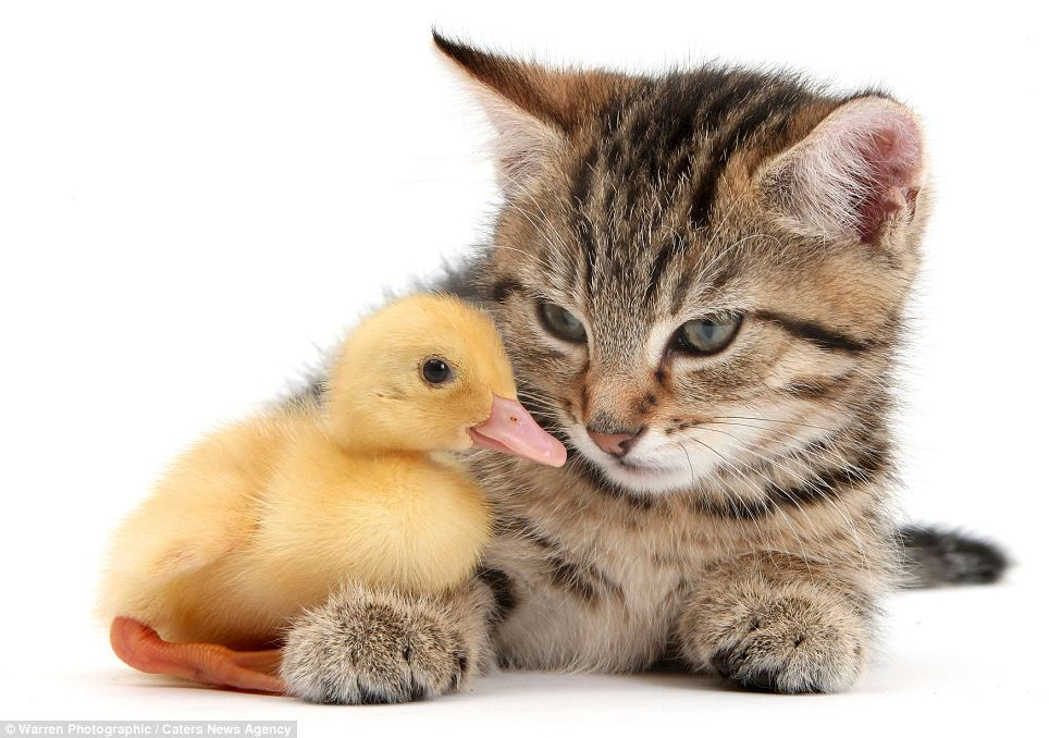 Stanley the kitten with a duckling: Despite the menacing look in Stanley's eyes, Mr Taylor has never had any incidents where one subject ate another