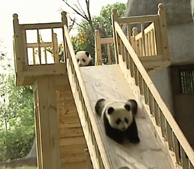 Anak Panda bermain di perosotan
