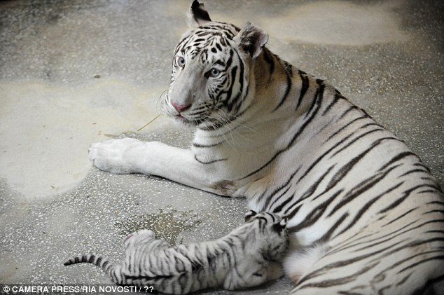 Rare white bengal tiger shows off her two bundles of joy
