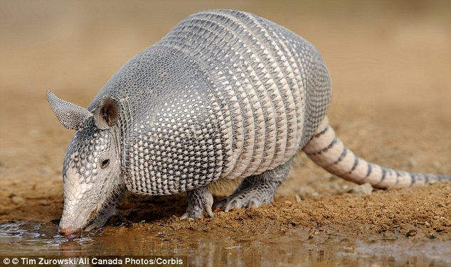 Beware the armadillo: A study last year found that the mammals are the only non-human creatures that can carry the bacteria that cause leprosy
