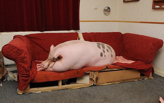 Flop de carne de cerdo: Babe el cerdo micro ha crecido hasta la friolera de 25 de piedra y se ha hecho cargo de la casa de los propietarios de Colin Webb y Susie