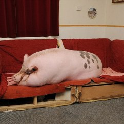 Pink Sofa Bed For Sale Large Beds 'micro' Pig Grows To 25 Stone And Takes Over Its Owners ...