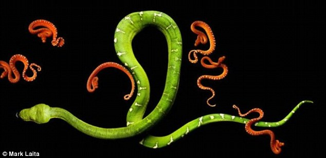 Writhing: Emerald Boa with babies features in photographer Mark Laita's new book Serpentine