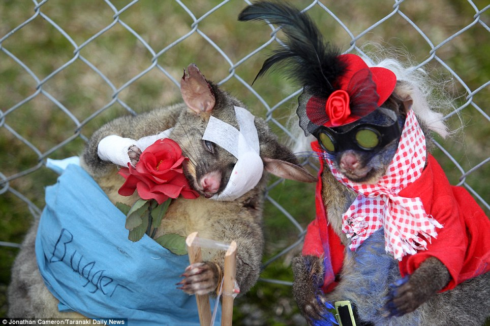 Bad taste: One possum appeared to be dressed as a patient, while another showed off an elaborate hat, wig and claws that are sprayed purple