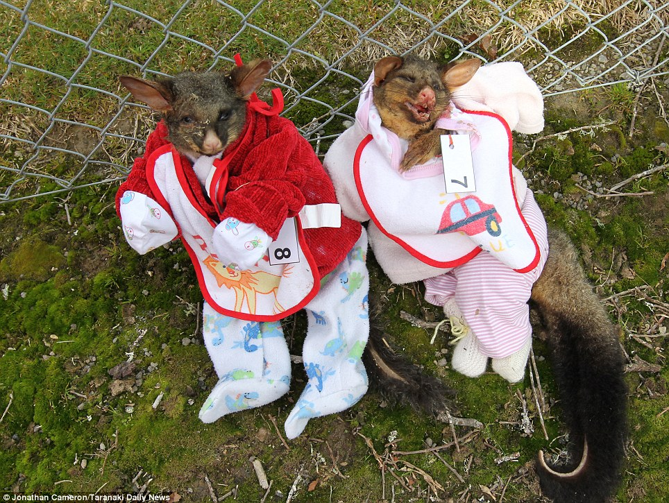 Hanging out: Two possums were fitted out in baby grows. The school defended the creepy contest as 'good fun'