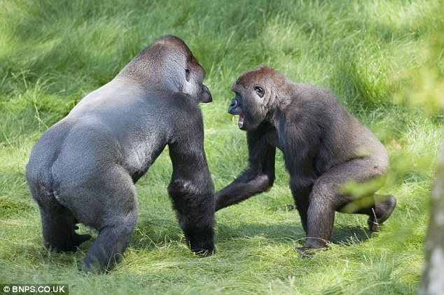 Home: The brothers are kept in a £3million gorilla enclosure at the safari park