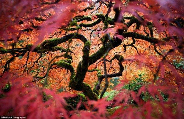 Fred An: 'This is the great Japanese maple tree in the Portland Japanese Gardens. I tried to bring a different perspective of this frequently photographed tree'